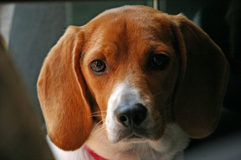 Musladin-Lueke Syndrome: A Preventable Inherited Disease of the Beagle