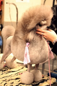 Breed of the Week: Poodle