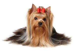 Degenerative Myelopathy- Should Yorkshire Terrier Lovers Be Concerned?