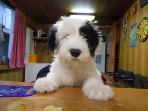 Preventable Inherited Diseases of the Old English Sheepdog- Part One