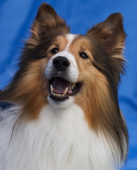 Breed of the Week: Shetland Sheepdog