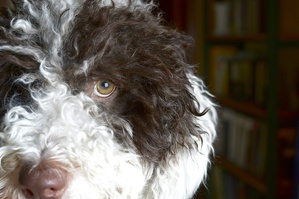 Prevention Is Smart Breeding- Urate Bladder Stones in the Spanish Water Dog