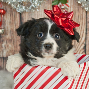 Is a Puppy the Right Holiday Gift?