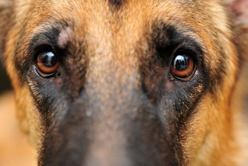 Picking the Right Genetic Test for Canine Progressive Retinal Atrophy