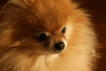 The Variability of Certain Canine Diseases