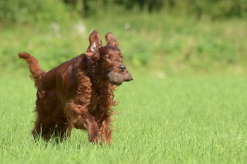 Preventing Inherited Progressive Retinal Atrophy in the Irish Setter