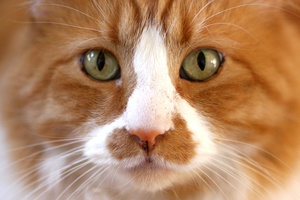 Feline Genetic Health Screening with the CatScan- Benefits for Veterinary Practice