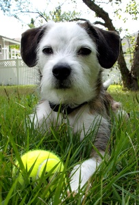 Preventing Inherited Ataxias and Primary Lens Luxation in the Parson Russell Terrier and Related Breeds