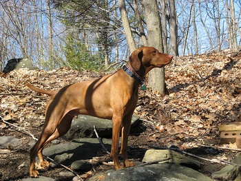 Breed of the Week: Vizsla