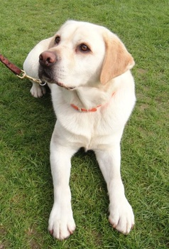I've heard about cystinuria in Labradors. Should I be concerned?