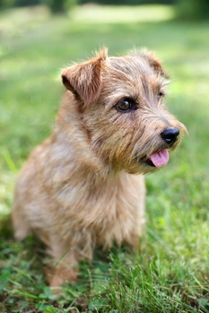 Prevention is Smart Breeding- Ichthyosis and the Norfolk Terrier