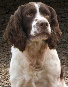 Breed of the Week: English Springer Spaniel
