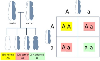 Who To Test? - Canine Autosomal Recessive Genetic Diseases