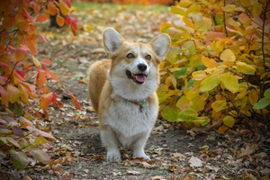 Pembroke Welsh Corgi  Early Onset Risk Modifier