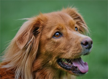 Breed of the Week: Nova Scotia Duck Tolling Retriever