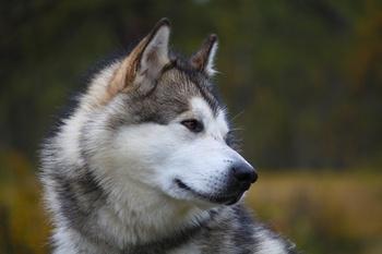 Paw Print Genetics Offers Tests for the Alaskan Malamute