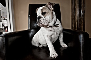 Preventing Inherited Urate Bladder Stones in the Bulldog