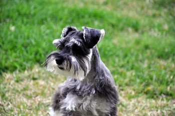 Myotonia Congenita: A Preventable Inherited Disease of the Miniature Schnauzer