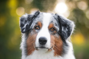 Merle Coat Color- What Veterinarians Should Know