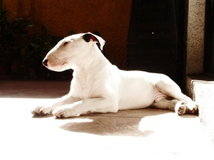 Breed of the Week: Bull Terrier