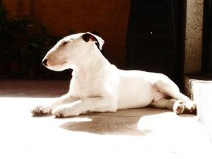 Breed of the Week: Bull Terrier