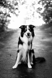 Inherited Diseases of the Border Collie