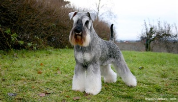 Inherited Diseases of the Miniature Schnauzer