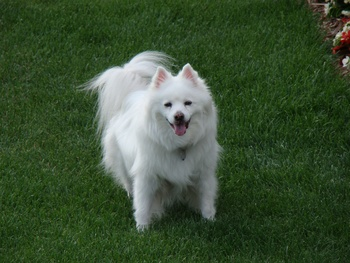 Breed of the Week: American Eskimo Dog