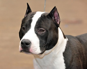 Breed of the Week: American Staffordshire Terrier