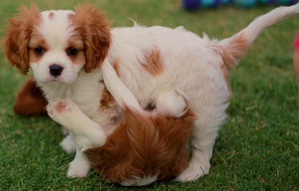 Dry Eye Curly Coat Syndrome: A Preventable Inherited Disease of the Cavalier King Charles Spaniel