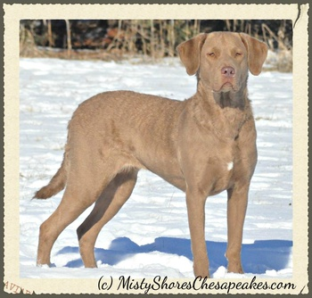 Paw Print Genetics Review by Tina Cox at Misty Shores Chesapeakes