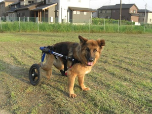 Misconceptions About Canine Degenerative Myelopathy