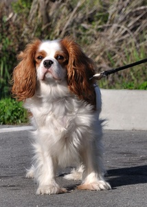 Breed of the Week: Cavalier King Charles Spaniel