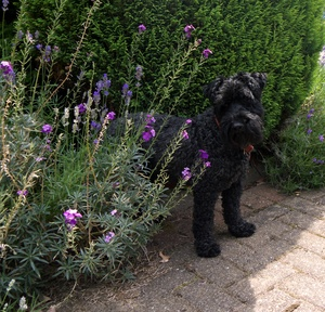 Preventing Inherited Von Willebrand Disease in the Kerry Blue Terrier