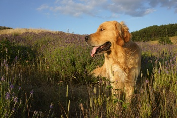Testing for Progressive Retinal Atrophy, GR1 and GR2 Now Available for the Golden Retriever