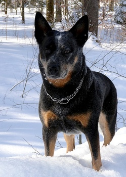 Breed of the Week: Australian Cattle Dog