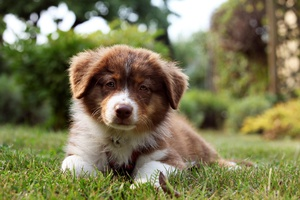 New Test for Australian Shepherds and Related Breeds - Intestinal Cobalamin Malabsorption