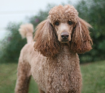 Preventing Inherited Progressive Retinal Atrophy in Poodles