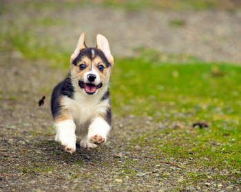 """Valid Canine Genetic Testing or """"Accuracy"""" of Canine Genetic Testing"""