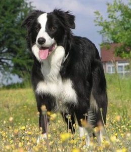 The USBCHA Sheep Dog Finals