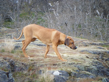 Breed of the Week: Rhodesian Ridgeback