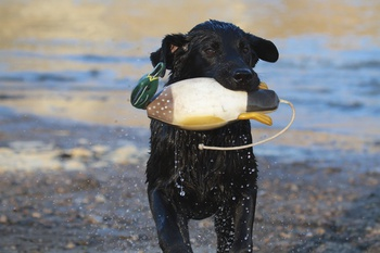 Genetic Disease Testing and the Hunting Labrador- Protecting Your Investment