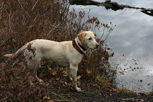 Skeletal Dysplasia 2: A cause of dwarfism in the Labrador retriever
