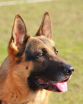 Beyond Dominant and Recessive:  X-Linked Canine Inheritance