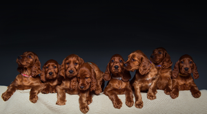 Identifying A Litter of Puppies