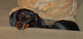A Tribute to Trixie the Wiener Dog