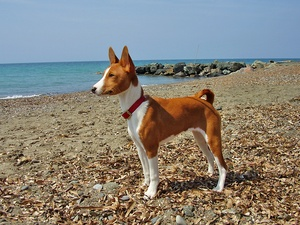 Does Paw Print Genetics perform disease testing on basenjis?