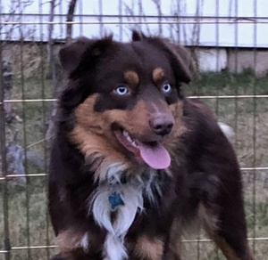 Paw Print Genetics and the Australian Shepherd Health & Genetics Institute conclude Pilot Project on Blue-eyed Tricolored Dogs