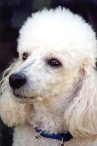 Inherited disease in Poodles may cause neurological problems