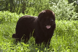 Breed of the Week: The Newfoundland
